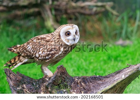 Short-eared owl portrait - stock photo