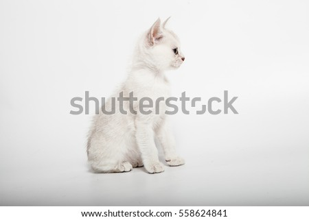 short hair burmilla breed cat two month sit and looking at side on white background