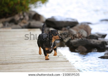 Short hair dachshund trotting along wood plank pier with lakeshore in the background