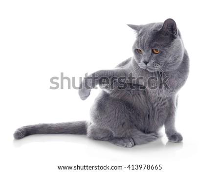 Short-hair grey cat isolated on white background - stock photo