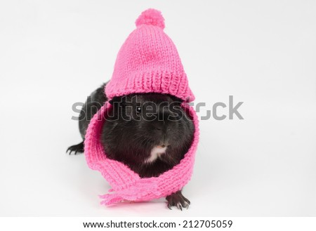 short haired baby guinea with pink beanie, scarf - stock photo