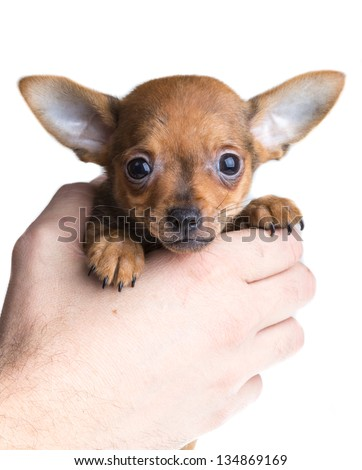 short haired chihuahua puppy in front of a white background - stock photo