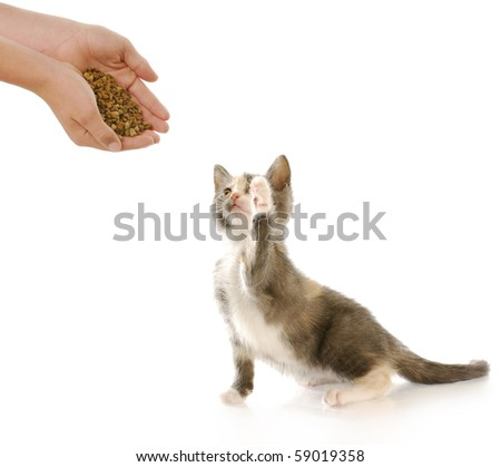 short haired kitten with paw up in the air with reflection on white background