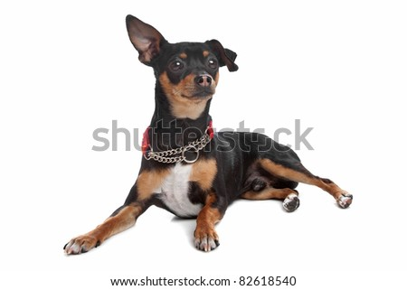 short-haired tricolor Chihuahua in front of a white background