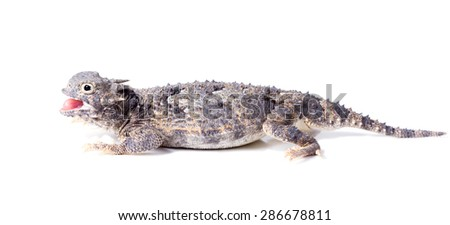 Short-horned lizard  (Phrynosoma platyrhinos) with mouth open. Isolated on white background - stock photo