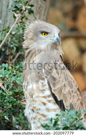 Short toed eagle ( circaetus gallicus ) in zoo - stock photo