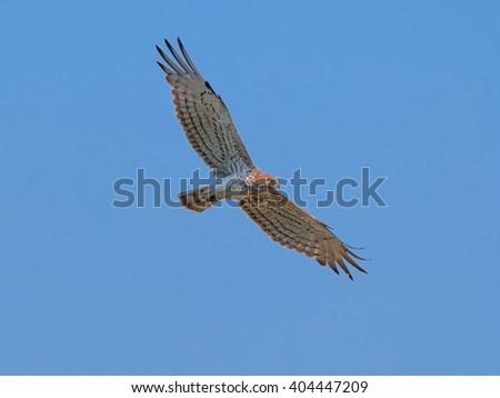 Short-toed eagle flying - stock photo