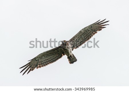 Short-toed eagle flying in the overcast sky - stock photo