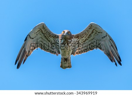 Short-toed eagle in the air looking at the camera - stock photo