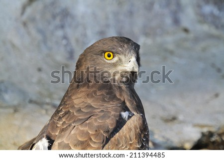 Short-toed snake eagle (Circaetus gallicus) - stock photo