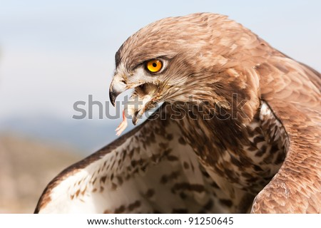 Short-toed snake eagle eating a chick (circaetus gallicus) - stock photo