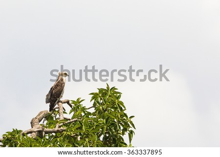 Short toed snake eagle sits in a tree top and scouts - stock photo