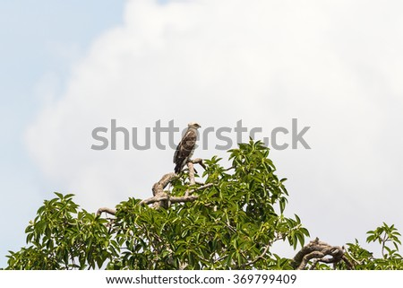 Short-toed snake eagle sitting in a green tree - stock photo