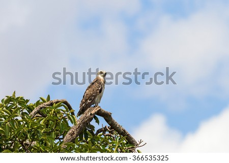 Short-toed snake eagle sitting on a tree branch - stock photo