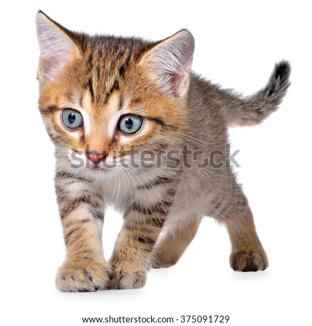 Shorthair brindled kitten crawling sneaking on a white background.