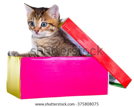 Shorthair brindled kitten hidden in a beautiful gift box isolated on a white background.