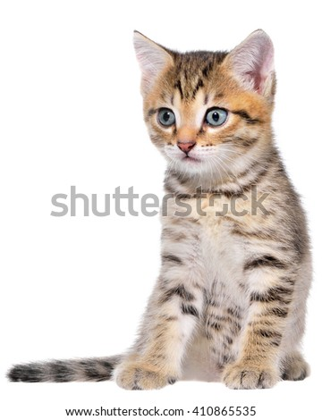 Shorthair brindled kitten on a white background.
