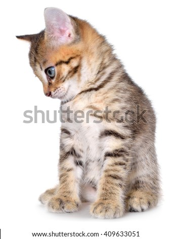 Shorthair brindled kitten sitting on a white background.