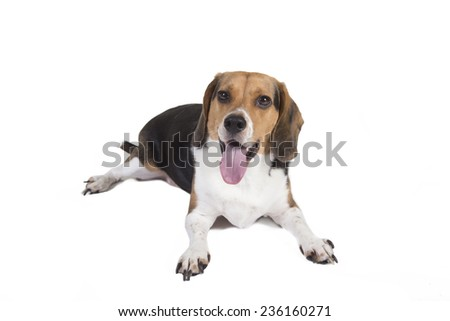 Shot of a beagle sitting down looking alert and at the camera. Tongue is hanging out - stock photo