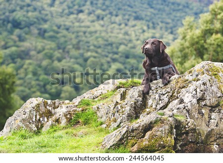 Shot of a Chocolate Labrador in Countryside - stock photo