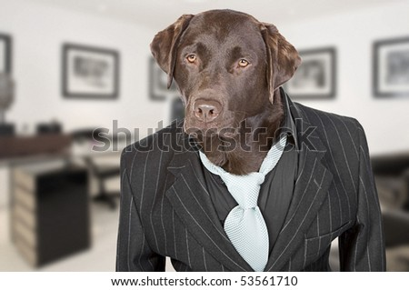 Shot of a Chocolate Labrador in Pin Stripe Suit against Office Backdrop - Working Like A Dog - stock photo