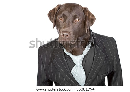 Shot of a Chocolate Labrador in Pin Stripe Suit against White Background - stock photo
