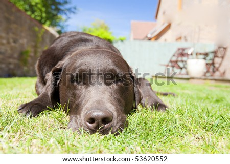 Shot of a Chocolate Labrador Relaxing in the Garden on a Bright Summer's Day