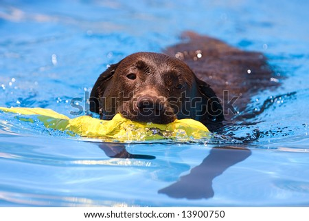 Shot of a Chocolate Labrador retrieving a toy from the water - stock photo