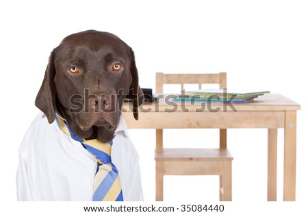 Shot of a Chocolate Labrador School Boy by His Desk against White Background. Back to School - stock photo