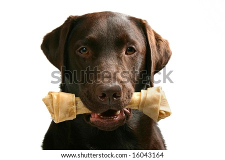 Shot of a chocolate labrador with a bone in this mouth - stock photo