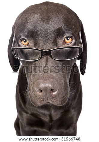 Shot of a Cute and Clever Labrador with Glasses - stock photo