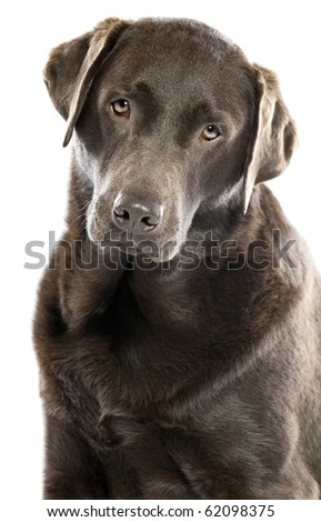 Shot of a Cute Chocolate Labrador with Head Tilted - stock photo