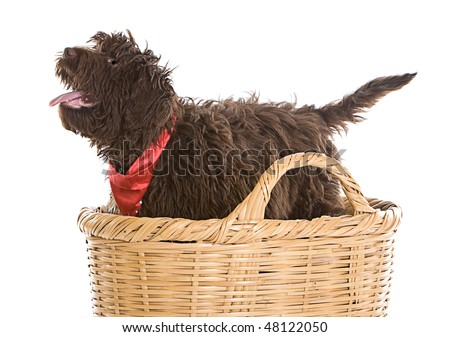 Shot of a Cute Labradoodle Puppy in a Basket - stock photo