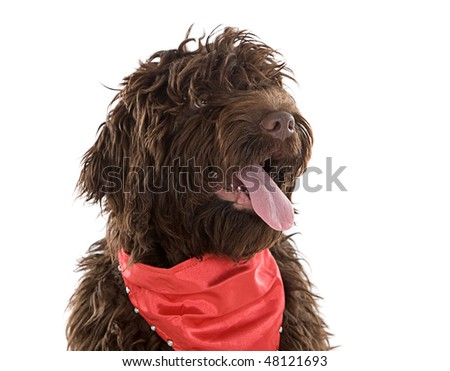 Shot of a Cute Labradoodle Puppy with Red Scarf - stock photo
