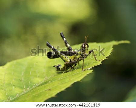 shot of a grasshopper,Erianthella formosana