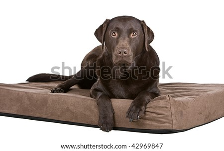 Shot of a Handsome Chocolate Labrador on His Memory Foam Bed. Comfy! - stock photo