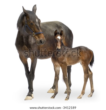 Shot of a Mare with her Foal (12 days) in front of a white background - stock photo