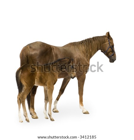Shot of a Mare with her Foal in front of a white background