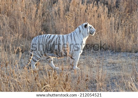 Shot of a rare white tiger in the wild  - stock photo
