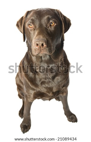 Shot of a Strong Male Chocolate Labrador