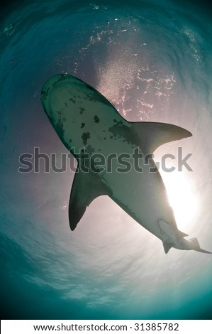 Shot of a Tiger Shark from beneath