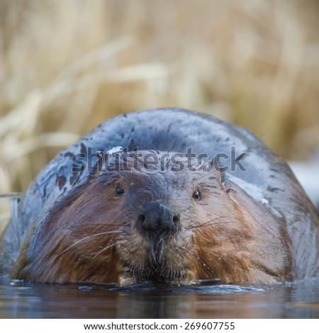 shot of a wild beaver near lake, nature series - stock photo