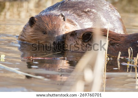 shot of a wild beaver near lake, nature series