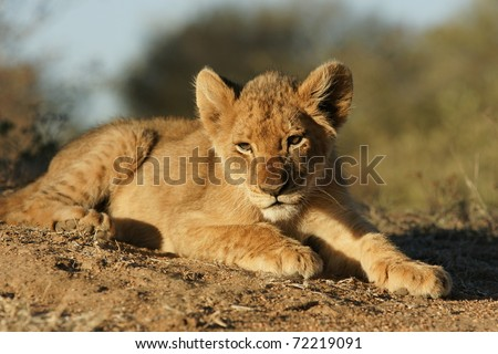 Shot of baby lion, Kruger National Park, South Africa - stock photo