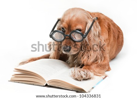 Shot of cocker spaniel on the white background