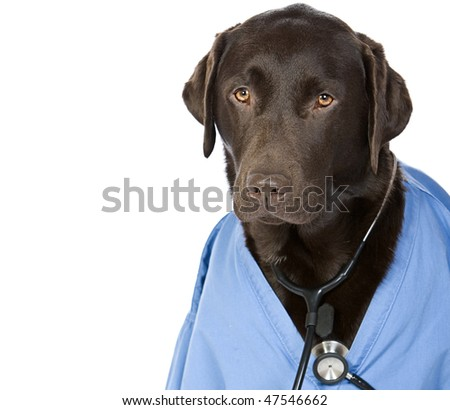 Shot of Dr Labrador with Copy Space - stock photo