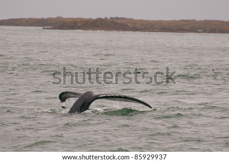 Shot of tail fluke of humpback whale in Juneau, Alaska. - stock photo