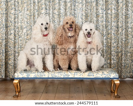 Shot of Three Miniature Poodles on Bench - stock photo