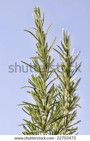 Shot of Wild Spanish Rosemary - stock photo