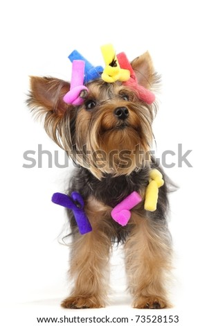 Shot of young Yorkshire Terrier dog over white background - stock photo